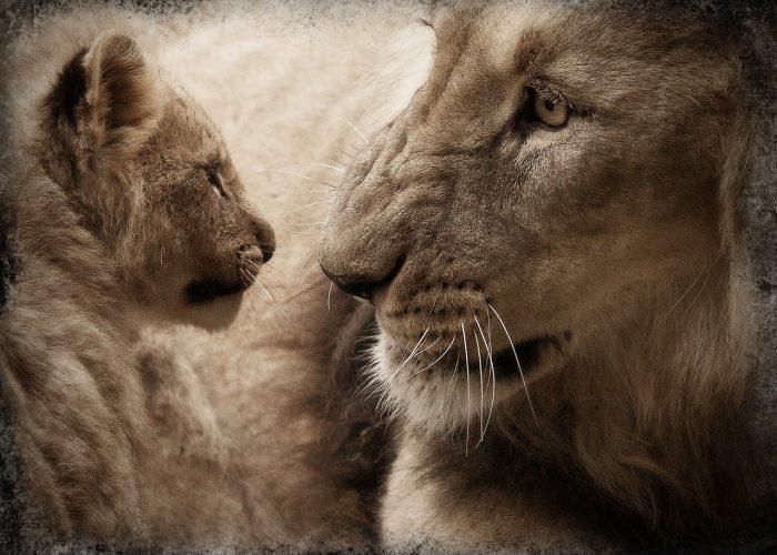 Ett lejon med sin lilla unge.
