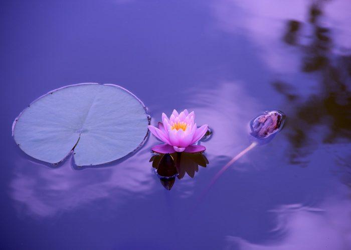 Mycket andlig bild på Lotusblomma.