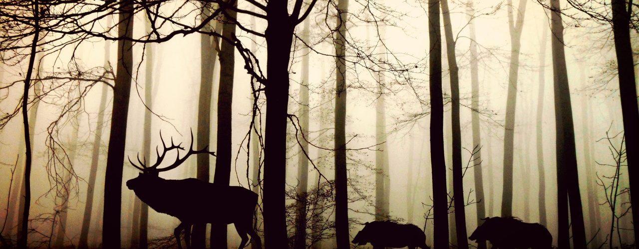 En älg leder några vildsvin i skogen. Motljus.